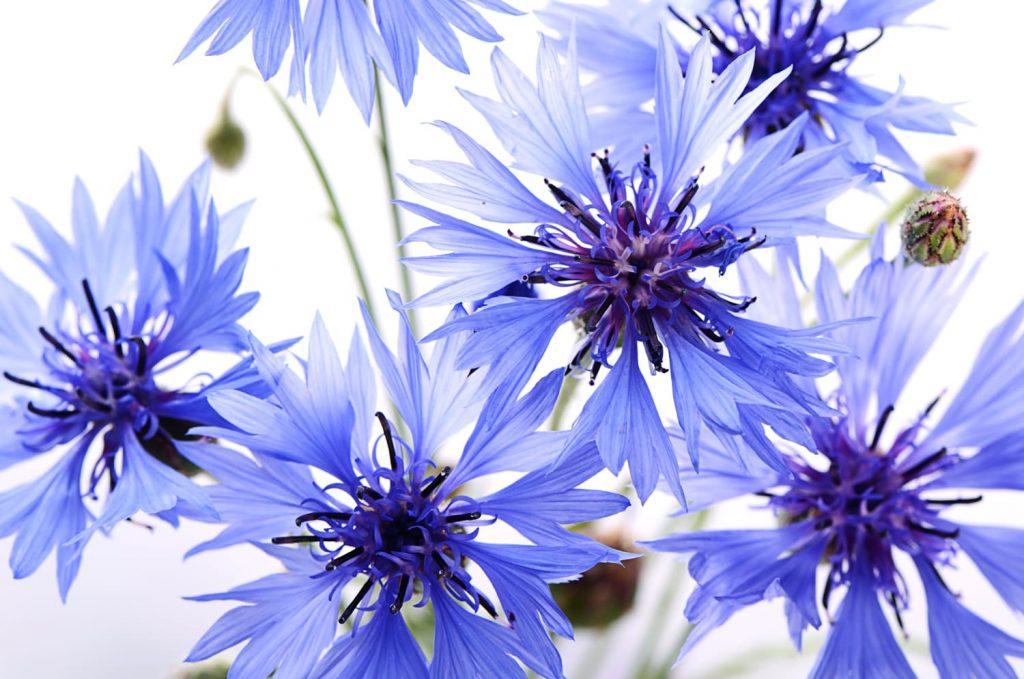 eau de bleuet eau floral centifolia