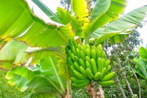 bananier min