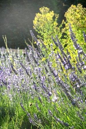 lavande beaute par les fleurs bio